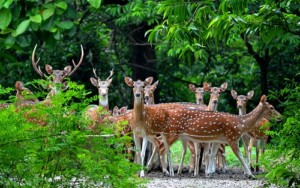 Deer in Bethuadahari national park