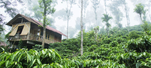Coffee Plants, Meenangadi