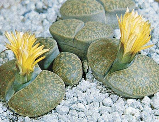 Lithops sp. (living stones)