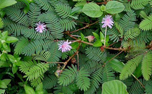 Mimosa pudica (sensitive plant)