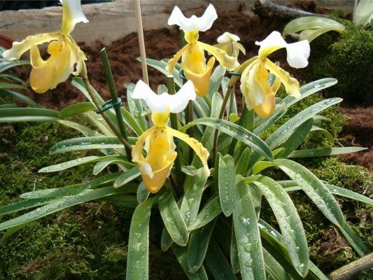 Paphiopedilum sp.(lady slipper orchids)